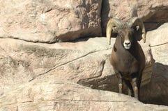 4 больших овцы утесов рожочка Стоковые Фото