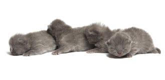 4 великобританских голубых котят shothair Стоковая Фотография