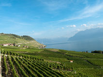 4 виноградника lavaux стоковые изображения rf