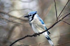 4 голубой jay Стоковая Фотография