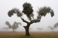 4 дуба тумана Стоковое Изображение