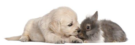 4 золотистых старых недели retriever кролика щенка Стоковые Изображения