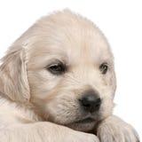 4 золотистых старых недели retriever щенка Стоковая Фотография