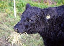 4 корова galloway Стоковое Изображение