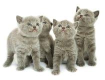 4 котят над белизной Стоковая Фотография RF
