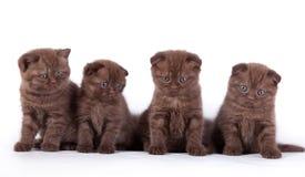 4 котят шотландского стоковые фото