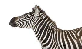 4 лет зебры стоковая фотография rf