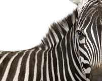 4 лет зебры Стоковая Фотография