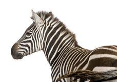 4 лет зебры стоковые изображения rf