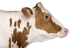 4 лет holstein коровы старых стоящих Стоковое Фото