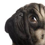 4 лет pug Стоковое Фото