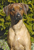 4 лет ridgeback собаки женских старых rhodesian Стоковые Изображения RF