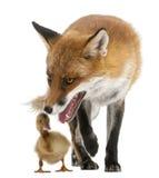 4 лет vulpes лисицы старых играя красных Стоковое Изображение
