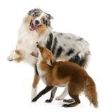 4 лет vulpes лисицы старых играя красных стоковая фотография rf