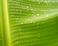 4 листь банана Стоковое Изображение RF