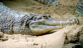 4 ложных gavial Стоковое фото RF