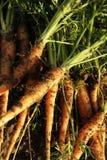 4 моркови Стоковое Изображение RF