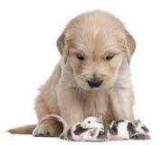 4 недели retriever щенка золотистых мышей старых Стоковая Фотография