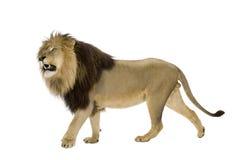 4 половинных лет panthera льва leo Стоковое Фото