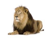4 половинных лет panthera льва leo стоковое изображение rf