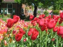 4 празднество Голландия может тюльпан стоковые фотографии rf