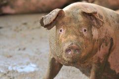 4 серии свиньи Стоковое Изображение RF