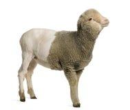4 частично побритой старой месяцев merino овечки Стоковые Фото