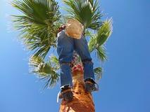 4 09 palm chirurga drzewo Zdjęcie Royalty Free