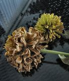 4 0904 blommar zinnia Royaltyfri Bild
