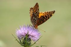 4只蝴蝶没有 免版税图库摄影