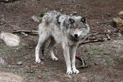 4狼 库存图片