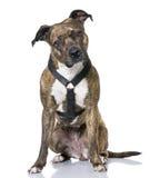 4 amerikanska gammala år för sittistaffordshire terrier Arkivfoto