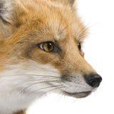 4 ans rouges de vulpes de renard Images libres de droits
