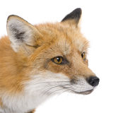 4 ans rouges de vulpes de renard Photos libres de droits