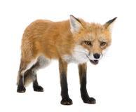 4 ans rouges de vulpes de renard Image libre de droits