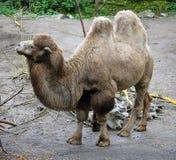 4 bactrian kamel Arkivbilder