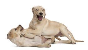 4 barn för retriever för labrador månader gammala Royaltyfri Fotografi