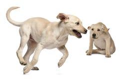 4 barn för retriever för labrador månader gammala Arkivfoton