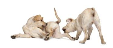 4 barn för retriever för labrador månader gammala Royaltyfri Bild