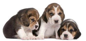 4 beagle grupowych starych szczeniaków tydzień Fotografia Royalty Free