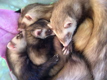 4 Beautiful Sleeping Ferrets. Beautiful ferrets sleeping quietly. Mocha, Latte, Cappuccino, and Bean. Age range from 6 months to 2 years. 2 males, 2 females, 2 royalty free stock photography