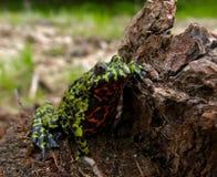 4 bellied жаба пожара Стоковые Изображения
