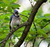 4 blåa jay Royaltyfri Fotografi