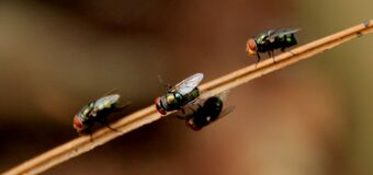4 Black Fly on Brown Stick Stock Photo