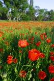 4 blomningvallmor Arkivfoto