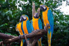 4 Blue-and-Yellow Macaw parrots. Standing on a branch. Also known as Blue-and-gold Macaw or Ara ararauna Royalty Free Stock Images