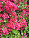 4 bougainvillea kwiatu menchii Obraz Stock