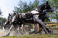 4 brown white horses in the water. 4 brown white horses come out of the water during the Four in hand Hippique event, during this event a dressage concourse Royalty Free Stock Image