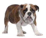 4 buldoga angielskich miesiąc stara szczeniaka pozycja Zdjęcia Royalty Free