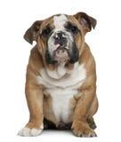 4 buldoga angielskich miesiąc stary szczeniak Fotografia Royalty Free
